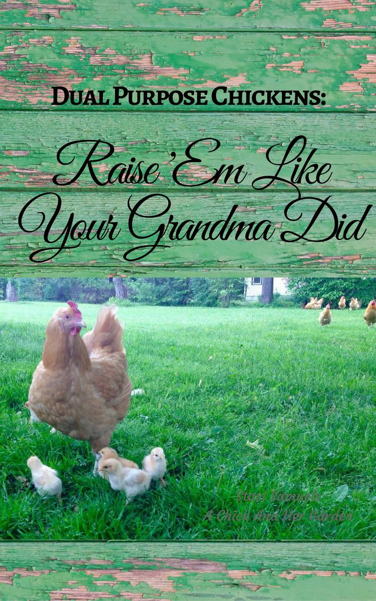 This eBook is an amazing resource for all your needs when raising chickens!