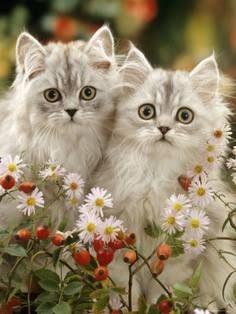 K=Kittens