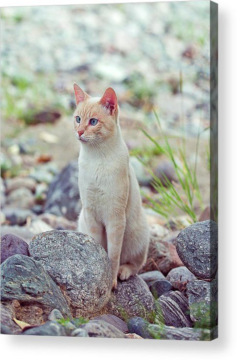Cat Acrylic Print featuring the photograph White Cat Sitting In Stones by Oksana Ariskina  on @pixels and @fineartamerica. Buy print and other product with my fine art photography online: www.oksana-ariskina.pixels.com. Cat sitting near the river on shore. Altai, Russia #OksanaAriskina  #FineArtPhotography #HomeDecor #FineArtPrint #PrintsForSale #Altai #Altay #Nature #Mountains #Wild #Animals #Pets