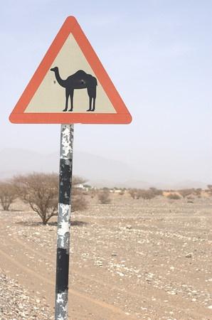 Camel crossing. Classic Oman.