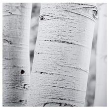White Birches Printed Canvas II