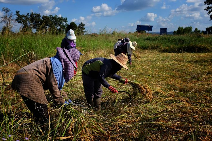 Rice Harvest - Thai farmers cut their rice crop by hand using iron sickles in Det Udom, Ubon Ratchathani, northeast Thailand