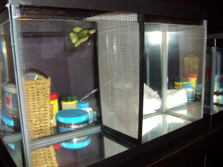 Betta fish can see each other through divider?