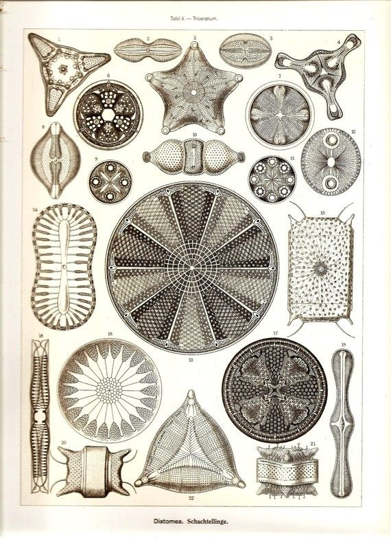 radiolaria aka the coolest thing I have learned in history of the life sciences