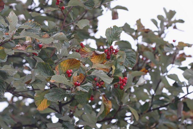 Whitebeam berries