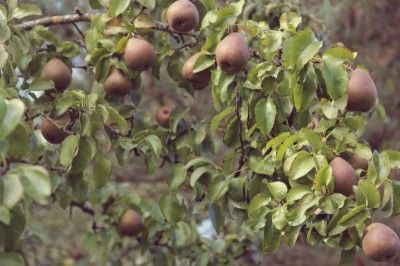 Growing Pear Trees: Tips For The Care Of Pear Trees