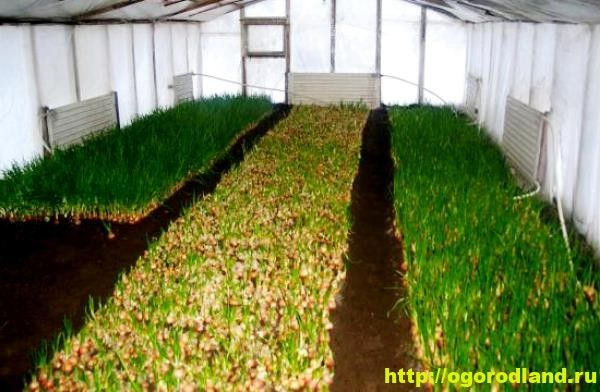 Выращивание зеленого лука в теплицах и парниках.