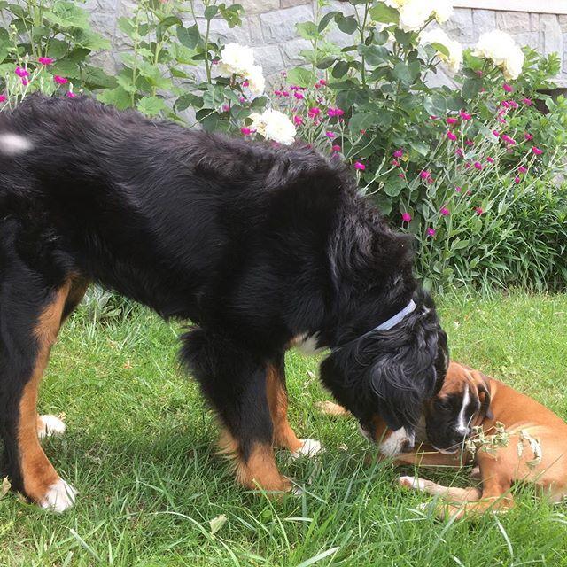 Pierwsze Spotkanie Dbg Bajka Pierwsze Spotkanie Dbg Bajka Familytime Friends Forever Love My Puppy Boxerdog Masza Animals Zwierzeta Animals Dogs