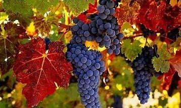 Полезные свойства масла виноградных косточек  Виноградное масло получают методом горячей экстракции из семян винограда. Масло из виноградных косточек имеет самое высокое среди всех известных масел и продуктов содержание линолевой кислоты (до 76%), контролирующей влажность кожи и ее способности к регенерации и реструктуризации. Масло из виноградных косточек имеет высокое (до 135 мг%) содержание витамина Е . Масло легкое, обладает высокой проникающей способностью, подходит для любого типа…