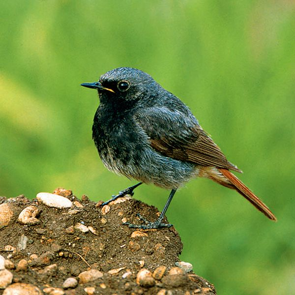 Hausrotschwanz Vogelbilder Bilder Buchfink