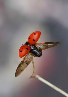 'ladybug in flight'