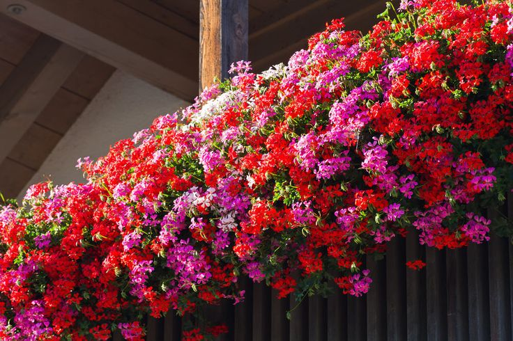 Spectacular series of flower boxes on the railing of a balcony overflowing with bright red, pink and white flowers.
