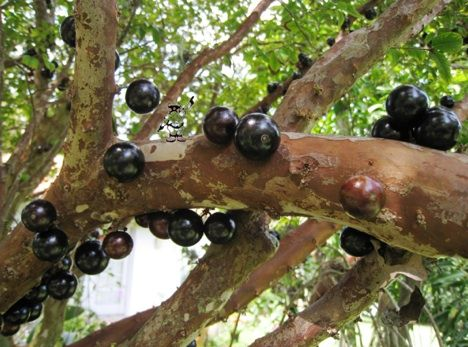 Jabotacaba - No, it's not a bug infestation on your favorite tree. It's a fruit that cuts out the middle man, so to speak, of the stem or flower. The long lived tree produces sweet, plum-like fruit.