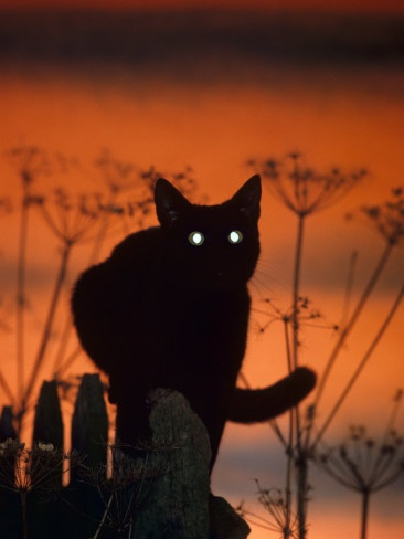 Black Domestic Cat, Silhoutte at Sunset with Eyes Reflecting Light Posters by Jane Burton from AllPosters.com: