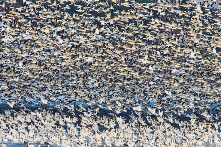 Greater Snow Goose Migration Above the Saint Francis River in Quebec Photographic Print by David Doubilet at AllPosters.com