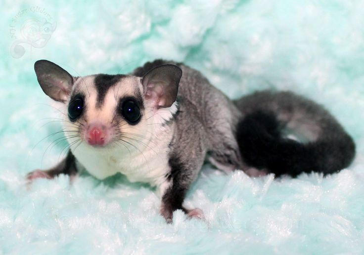17 Best images about Our Sugar Glider Joeys on Pinterest ...