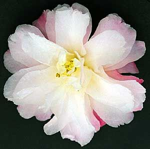 Camellia Sasanqua 'Star Above Star'
