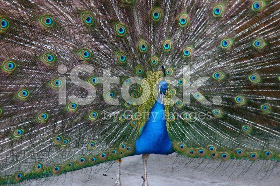 Peacock - Calgary Zoo royalty-free stock photo