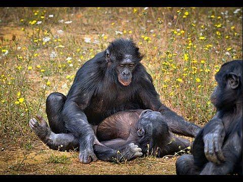 جفت گیری انسان Top Mating Monkeys : Mating animals Funny 2016   mating ...