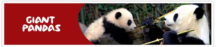 giant-pandas I so hope all will look at the video on this site of Panda Bai Yun with her newborn. It will make you cry it is so dear!!