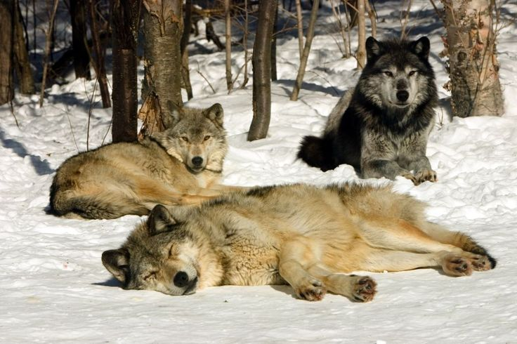 Grey Wolves Catching some Rays in the Haliburton forest in Ontario.