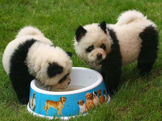 Chinese Chow Chow Panda Dogs. bizzare. but i kinda dig it.