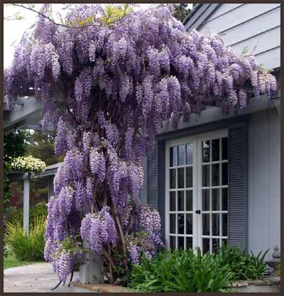 Wisteria--besides an herb garden and vegetables, my only must-have.
