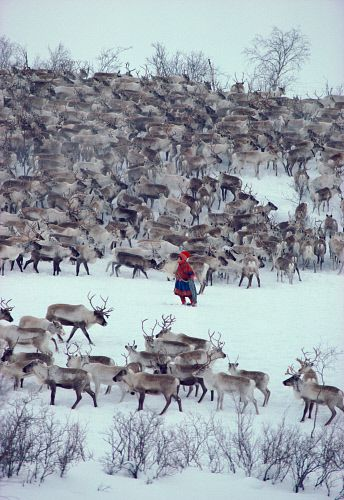 Sami woman herder, Berit Logje with her reindeer herd before spring migration. Kautokeino. North Norway© Bryan & Cherry Alexander Photography