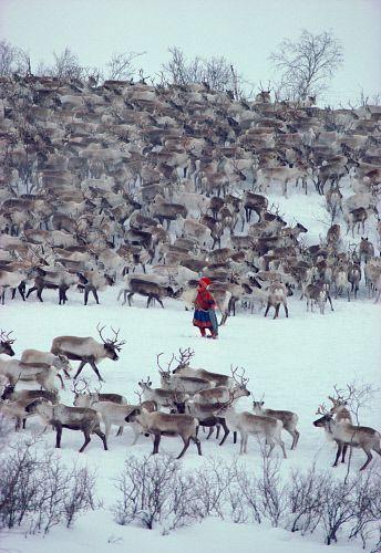 Sami woman herder, Berit Logje with her reindeer herd before spring migration. Kautokeino. North Norway: Kautokeino, Norwegian Lapland: Arctic & Antarctic photographs, pictures & images from Bryan & Cherry Alexander Photography.