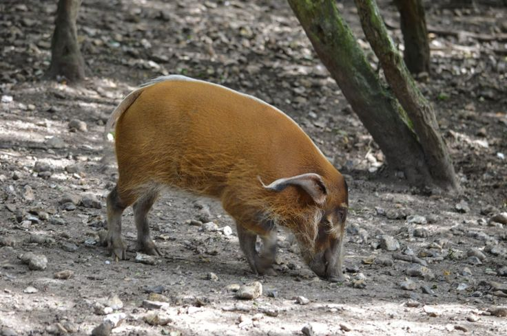 Different Breeds of Wild Hogs   Red River Hogs.
