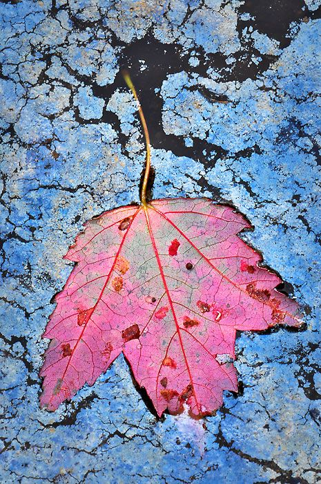 Maple Decay by joerossbach.deviantart.com on @deviantART