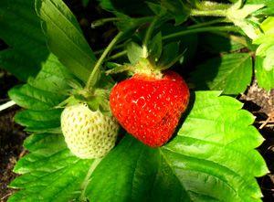 Tuin aanleggen » Blog Archive » Aardbeien planten