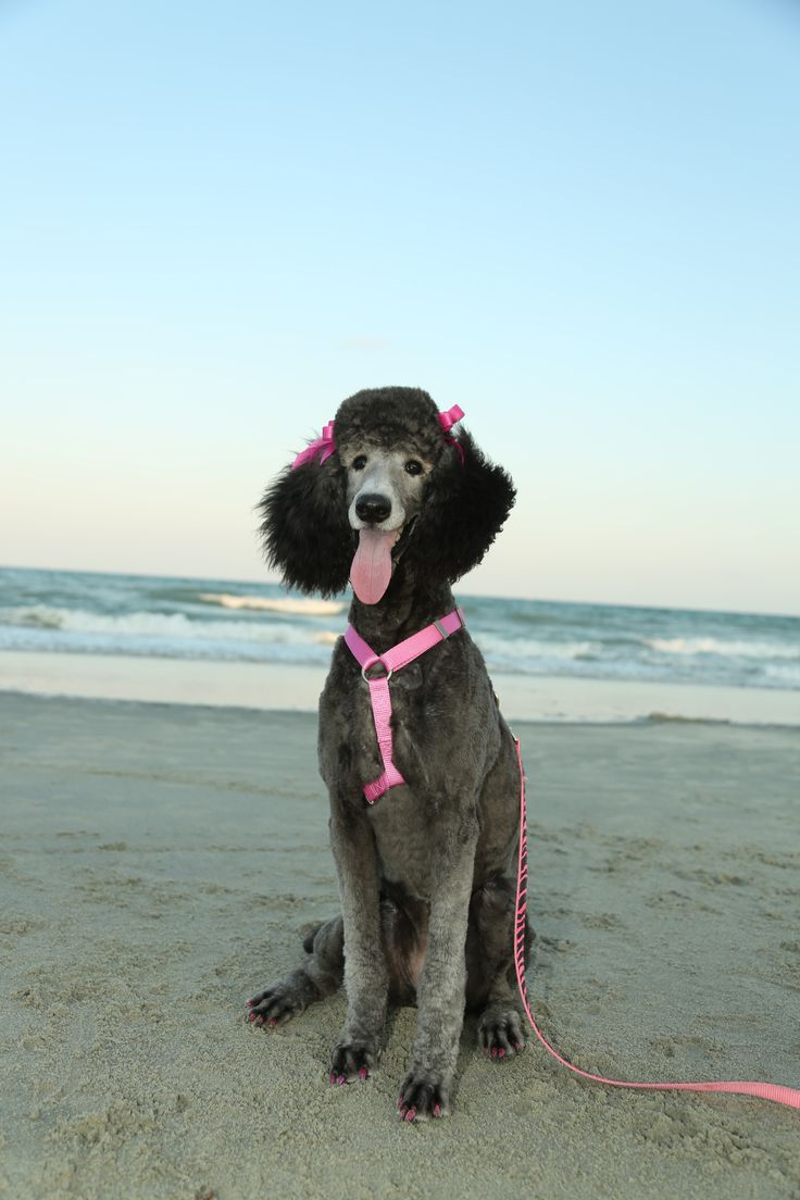 Standard poodle haircuts or of unless soft haircuts standard poodle - Silver Standard Poodle 7 Months Old