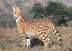 Servals In The Wild