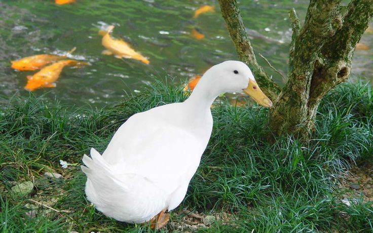 Duck Wallpaper  Android Apps on Google Play 1024×768 Duck Wallpaper (50 Wallpapers) | Adorable Wallpapers