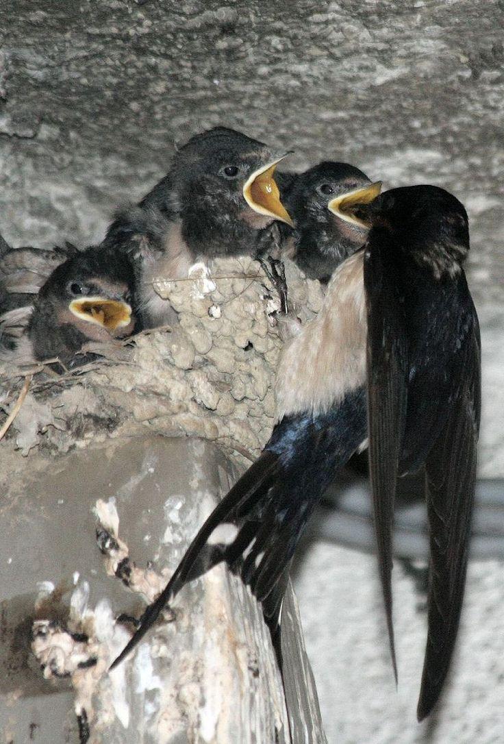 Hirundo rustica Rauchschwalbe1 - Rauchschwalbe – Wikipedia