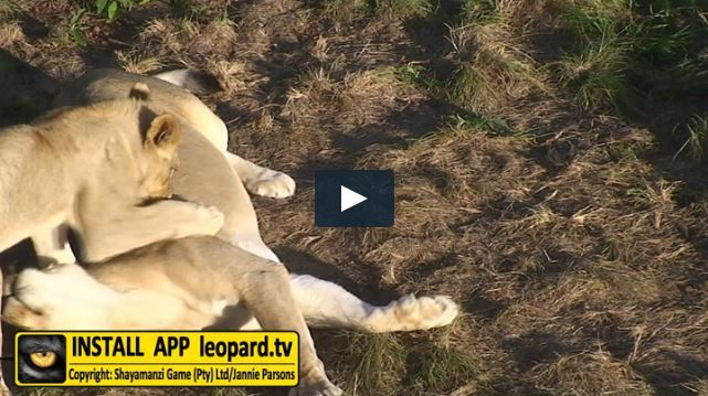 Even though they are all grown up now - Simba, Nala and Kiara still love to play with their mom. Watch the video! Sign up to the leopard.tv APP for more videos! ‪#‎leopardtv‬ ‪#‎lions‬ ‪#‎africa‬