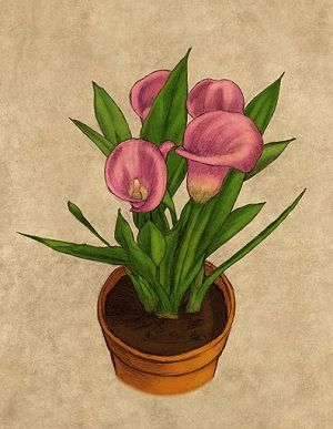 How to grow and care for Calla Lilies in containers