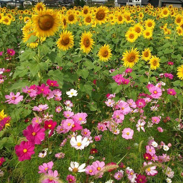 秋なのかしら❔夏なのかしら❔ ひまわり&コスモスが満開です #コスモス #コスモス畑 #ひまわり#ひまわり畑 #満開 #東亜和裁 #toawasai