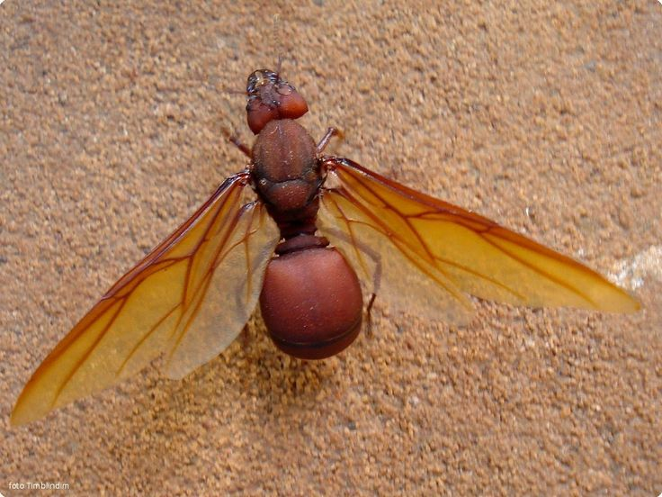 Revoada de formigas saúvas
