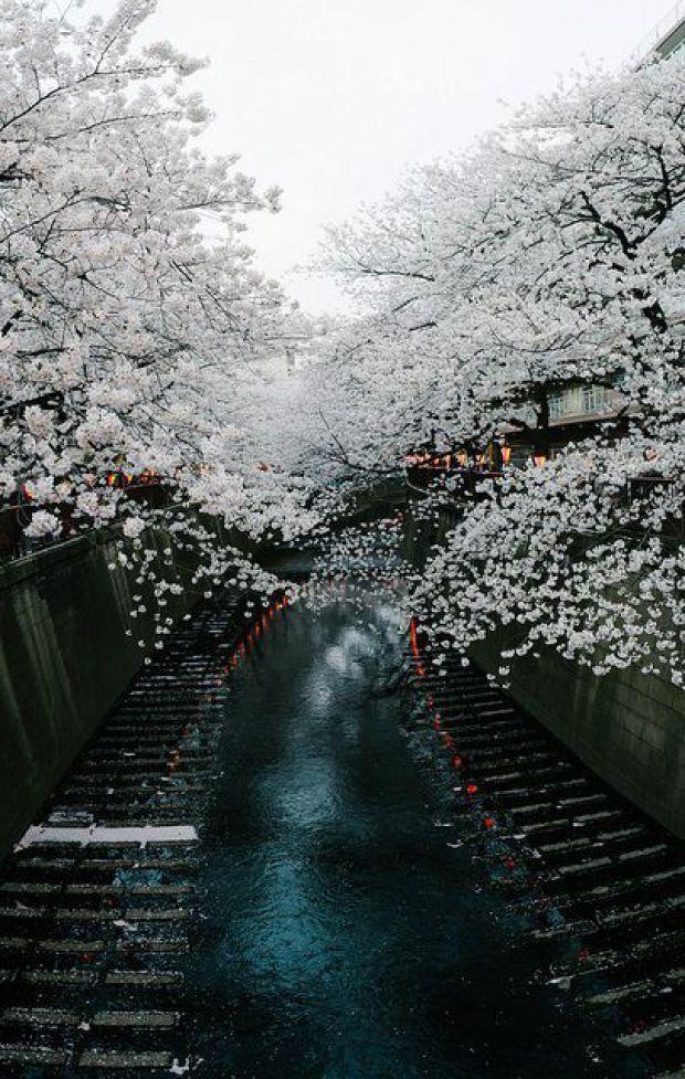 Cherry tree in full bloom, Meguro River, Tokyo, Japan