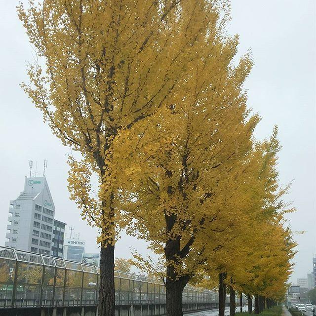 名古屋のイチョウもきれいに紅葉中🍂 #東亜和裁紅葉まつり2016 #いちょう #いちょう並木 #東亜和裁 #toawasai