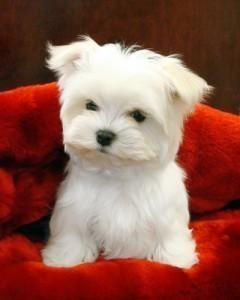maltese puppy for sale Chicago Illinois #Maltese
