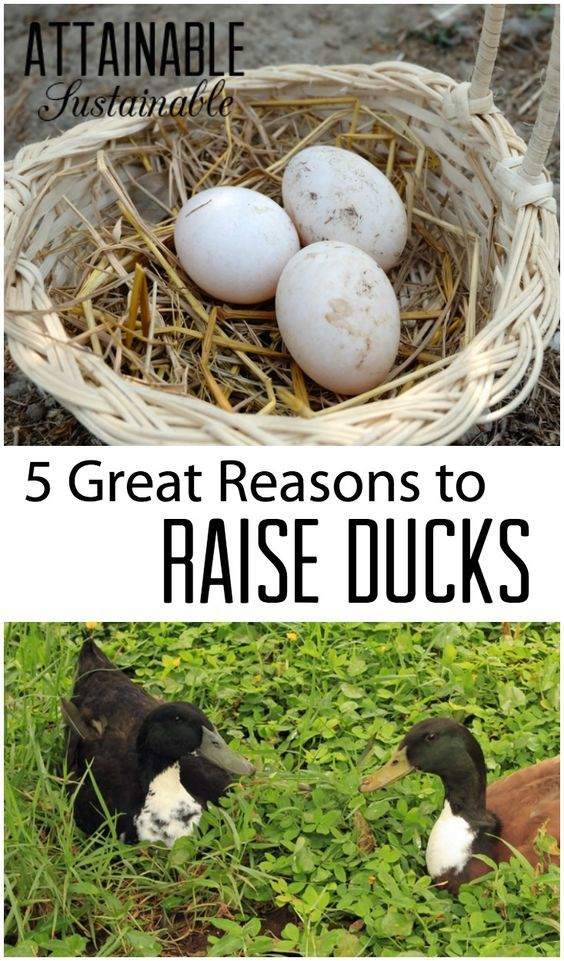 Duck eggs are just one of many reasons to add ducks to your little homestead. These easy to care for egg layers have a lot to offer! Find out why you might want to add ducks to your yard or homestead!