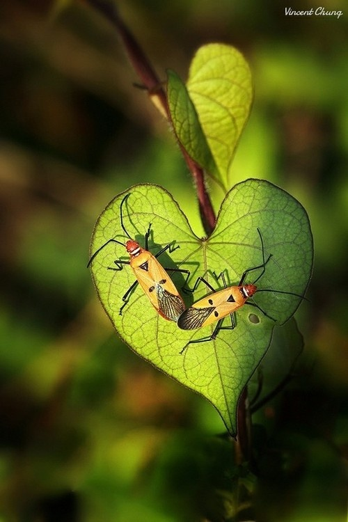 *two bugs on a heart shaped leaf