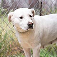Go Rescue Pet Adoption Center, Virginia Beach, Virginia - Labrador Retriever. Meet Daisy W, a for adoption. https://www.adoptapet.com/pet/19706955-virginia-beach-virginia-labrador-retriever. Daisy was a feral dog & will need an experienced person to adopt her.