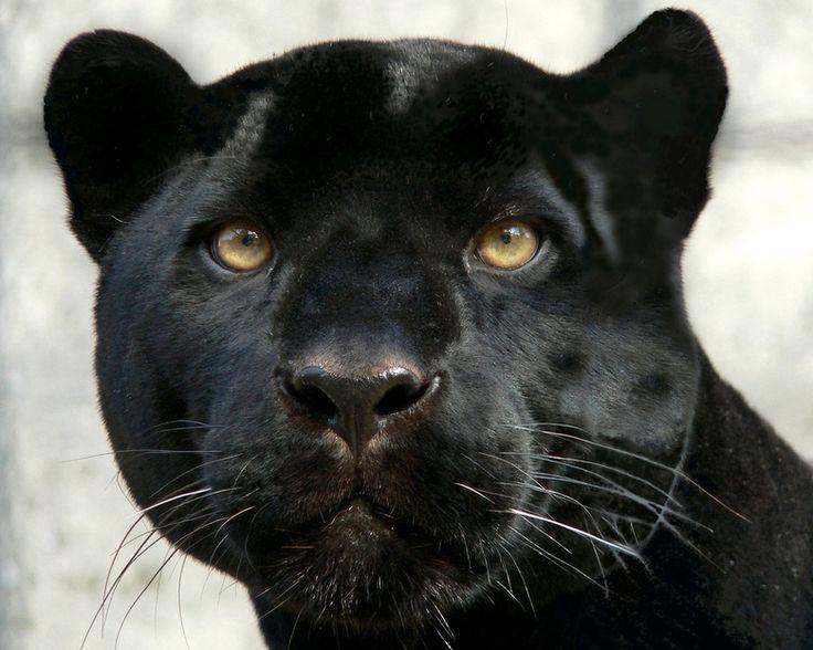 Zwarte panters zijn zo mooi echt 1 van mijn lievelingsdieren!!!