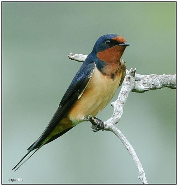 Barn Swallow Splendor | BirdNote
