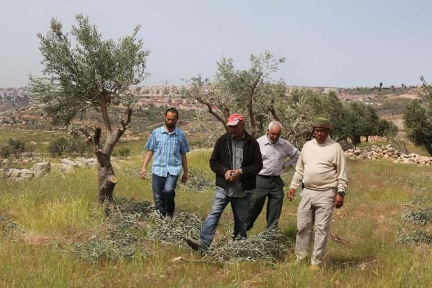 RAMALLAH, WEST BANK - APRIL 10: Palestinian farmers inspect the damage to their olive trees that allegedly was cut down by Israeli settlers at Mihmas district of Ramallah in West Bank on April 10, 2017. More than 300 olive trees were cut down by the settlers, according to residents of the village. ( Issam Rimawi - Anadolu Agency )
