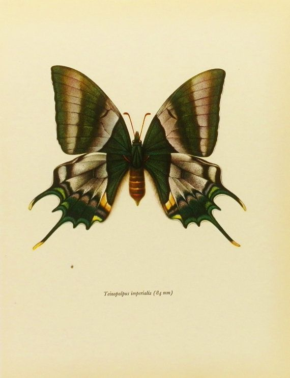 Vintage Butterfly Prints | Vintage Butterfly Print, Kaiser-I-Hind Swallowtail, 1960s Book Plate ...